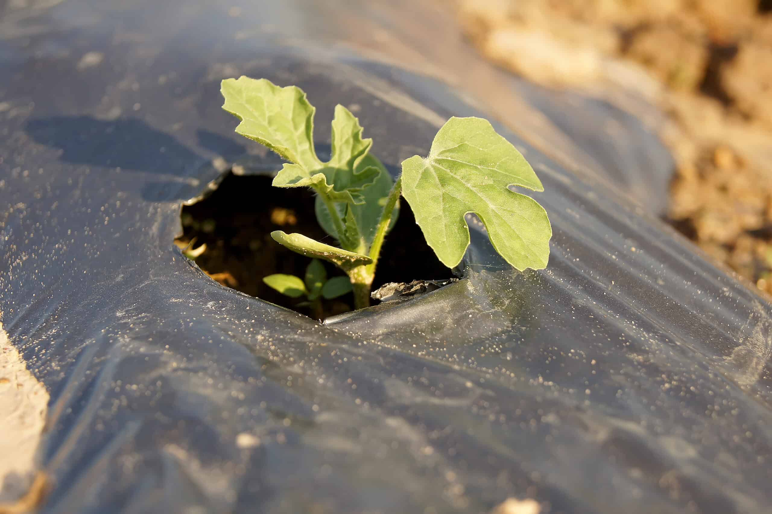 Pre-warm the soil for melons