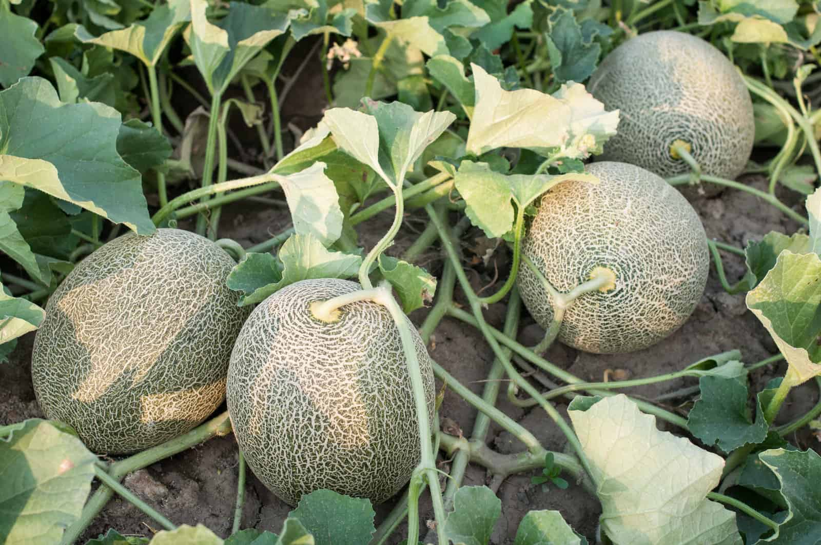 Four melons on one vine