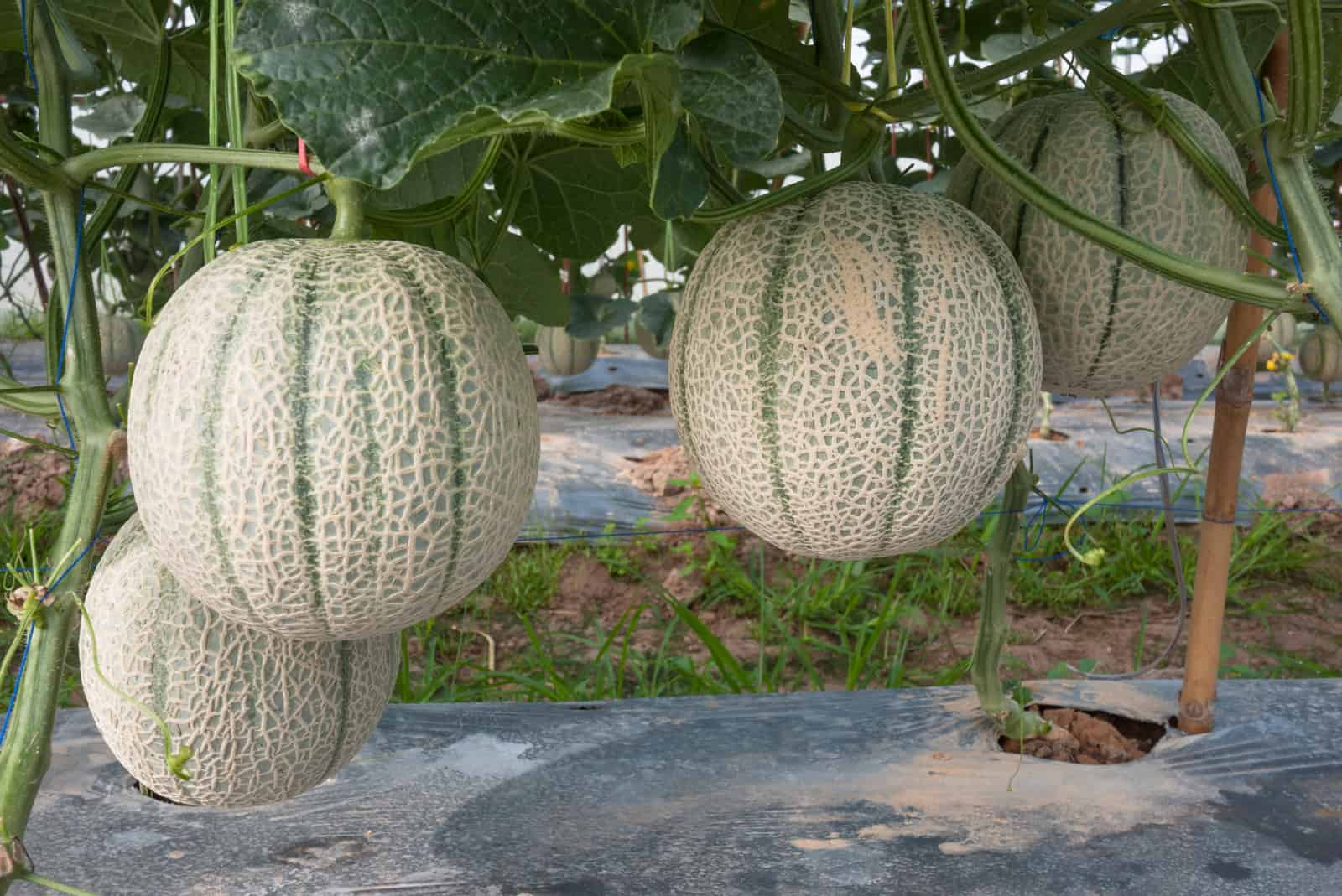 How To Plant Grow And Harvest Cantaloupes And Summer Melons We are cantaloupe, a young, interdisciplinary team consisting of 3d artists, engineers and software developers. harvest cantaloupes and summer melons