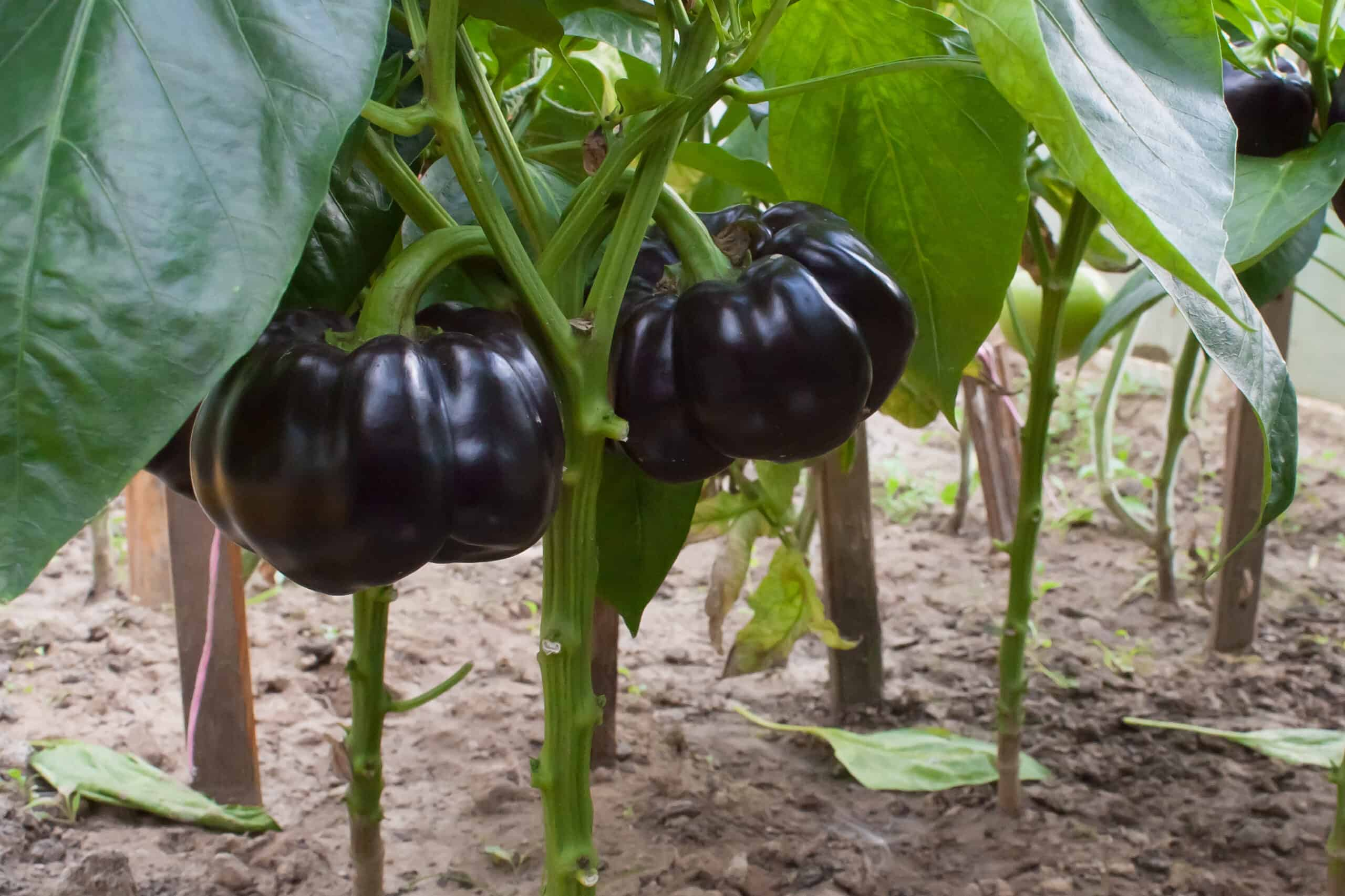 How To Plant Grow And Harvest Eggplants