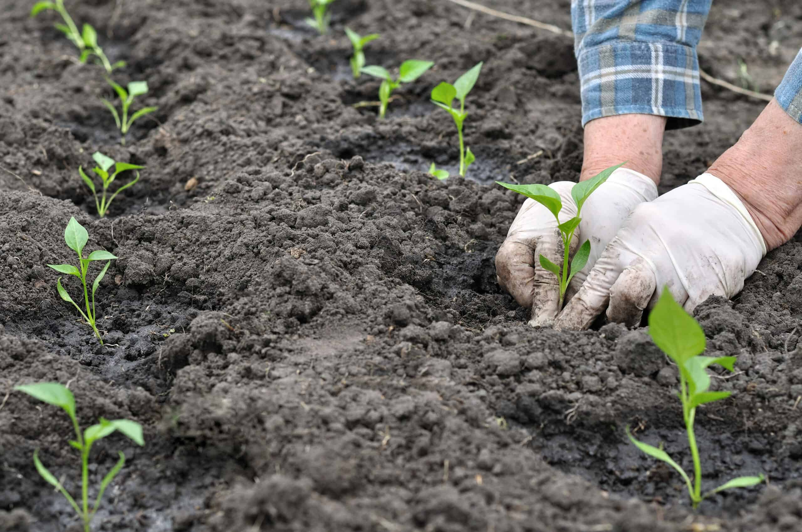 Planting peppers in rows