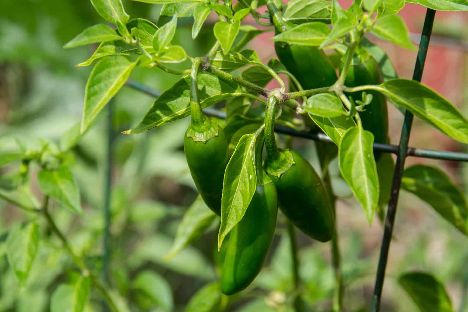 Hot peppers in garden
