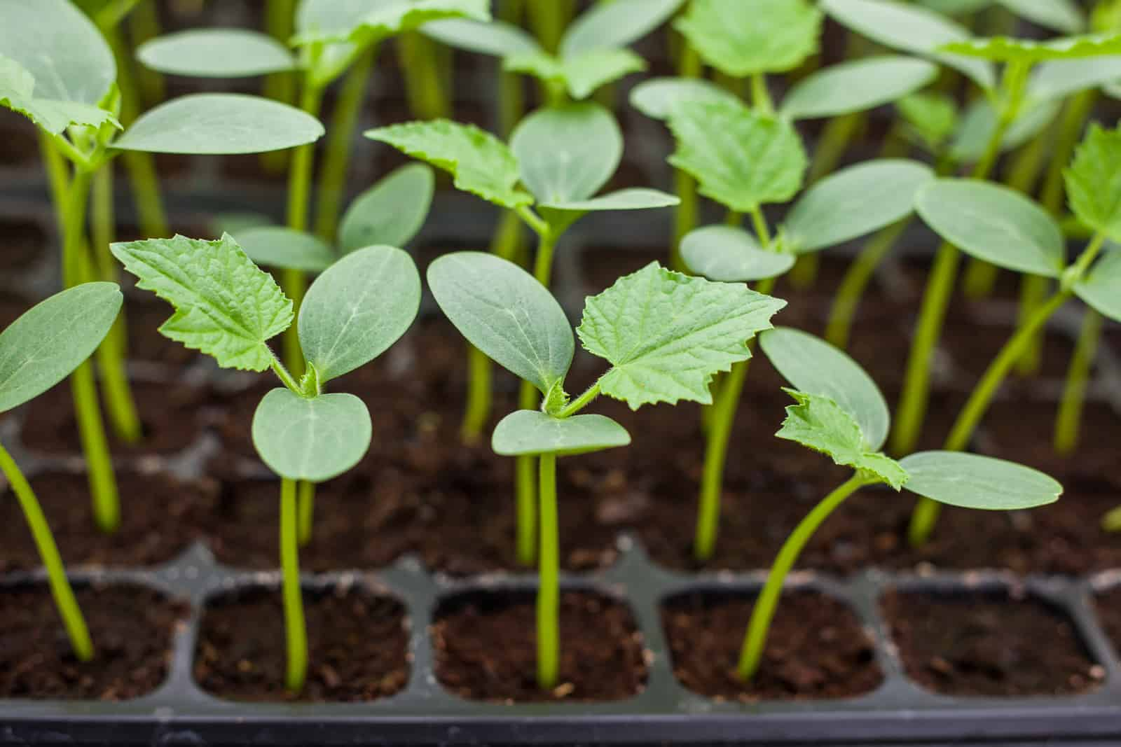 cucumber seedlings for planting