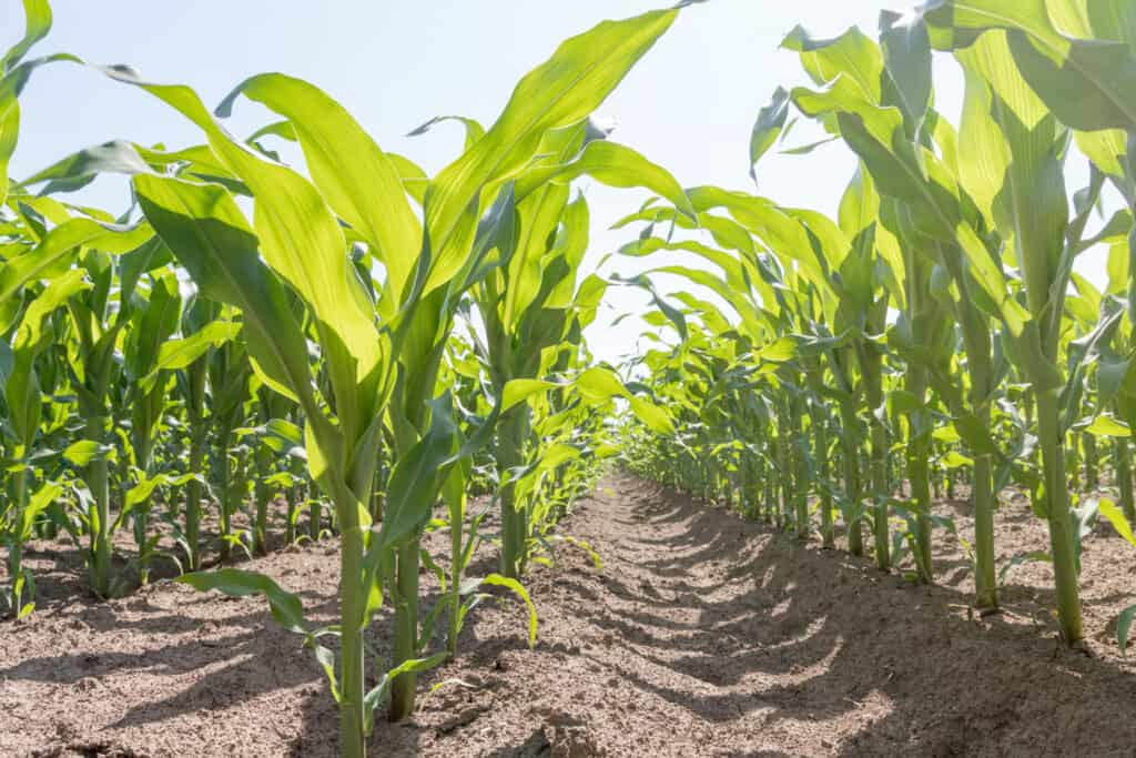 Corn planted in rows