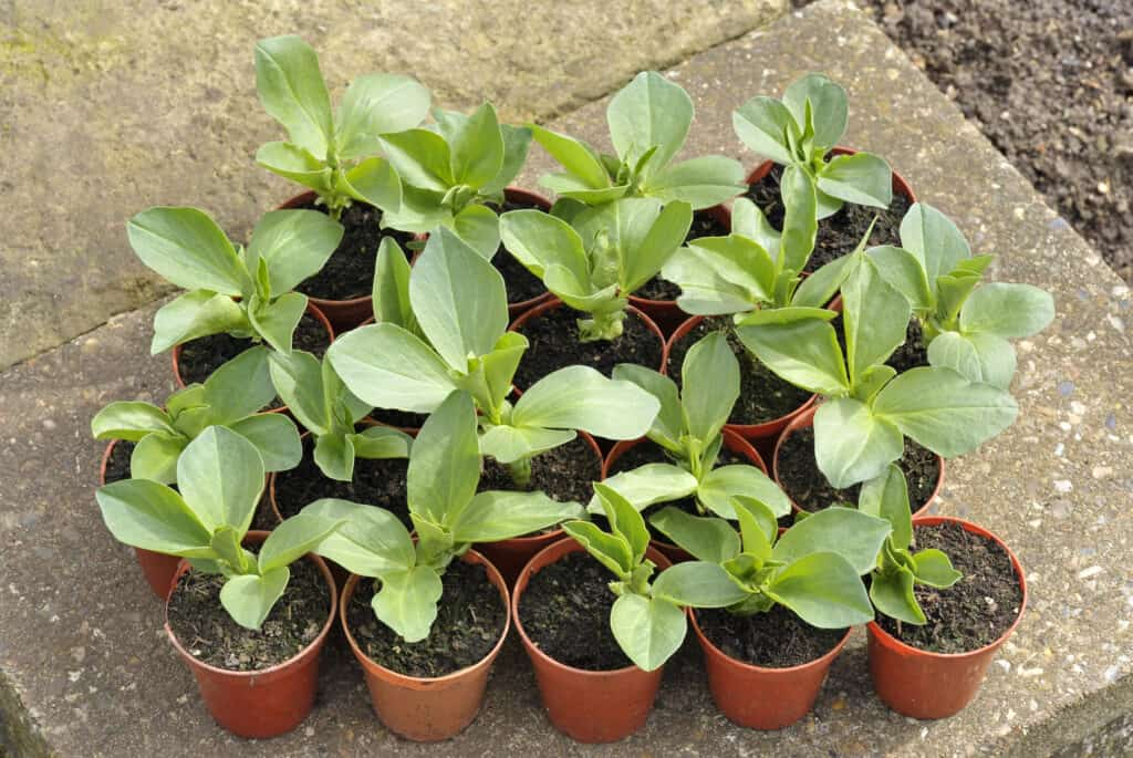 Broad bean seedlings for transplanting