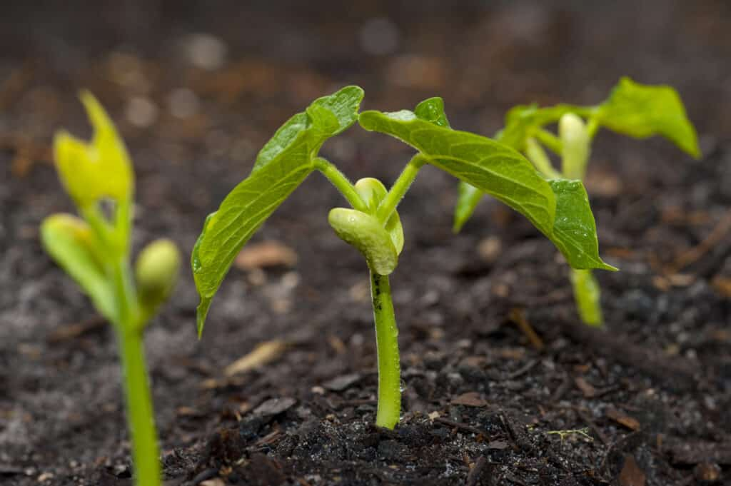 Snap bean seedlings