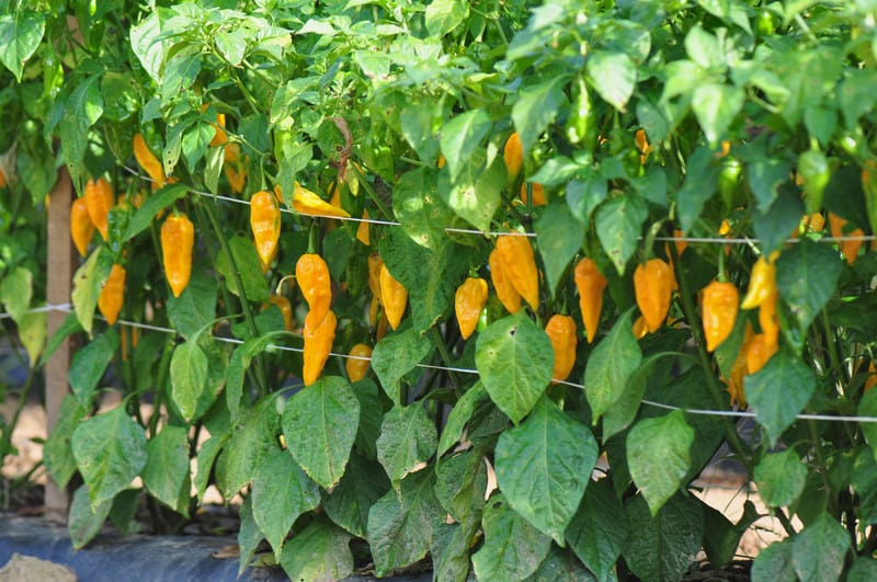 Grow hot peppers in warm weather