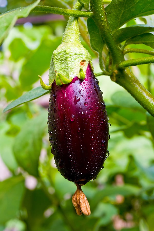 Grow eggplant in the summer