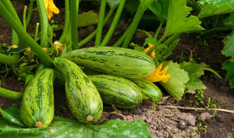 How to Grow Zucchini and Summer Squash