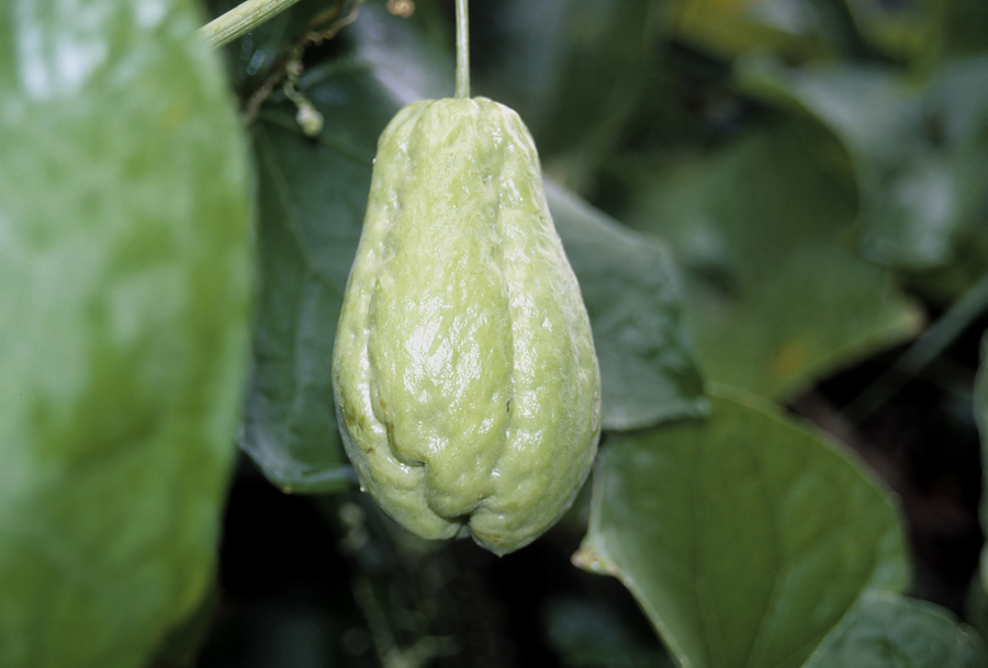 How to Grow Chayote - Harvest to Table
