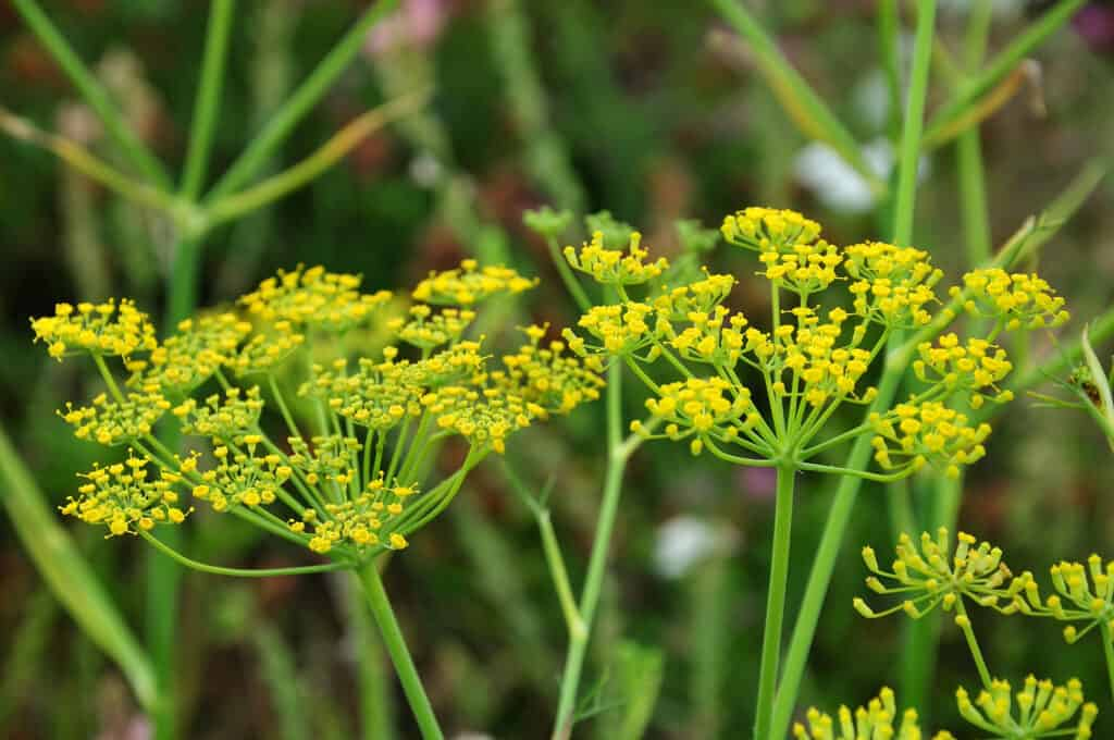 How to grow fennel: fennel flowering