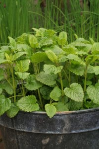 How to grow lemon balm in pot