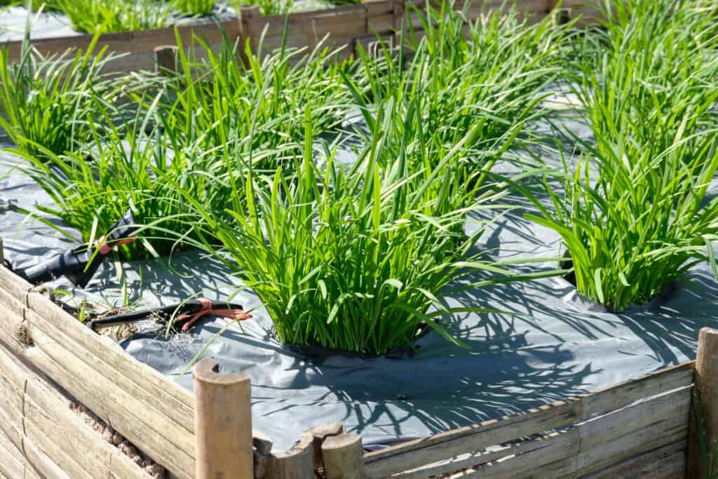 How to grow chives: chives in raised bed