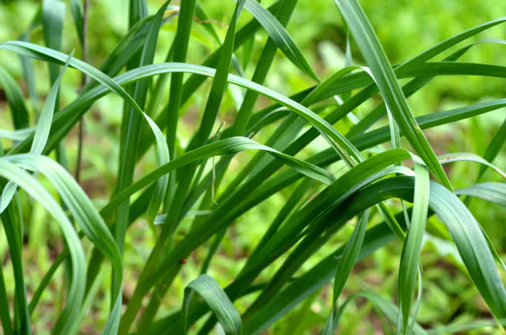 How to grow chives: chives in garden