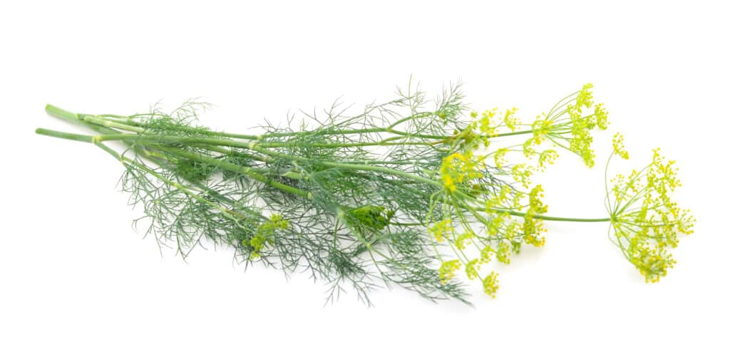 How to grow dill: dill leaves