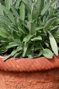 How to grow sage: sage growing in pot