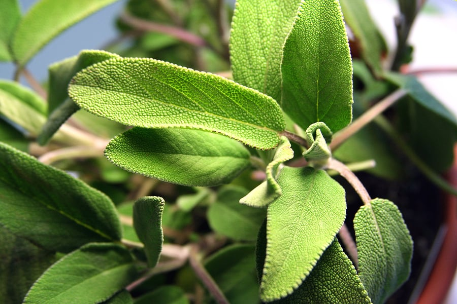 How to grow sage: sage in garden