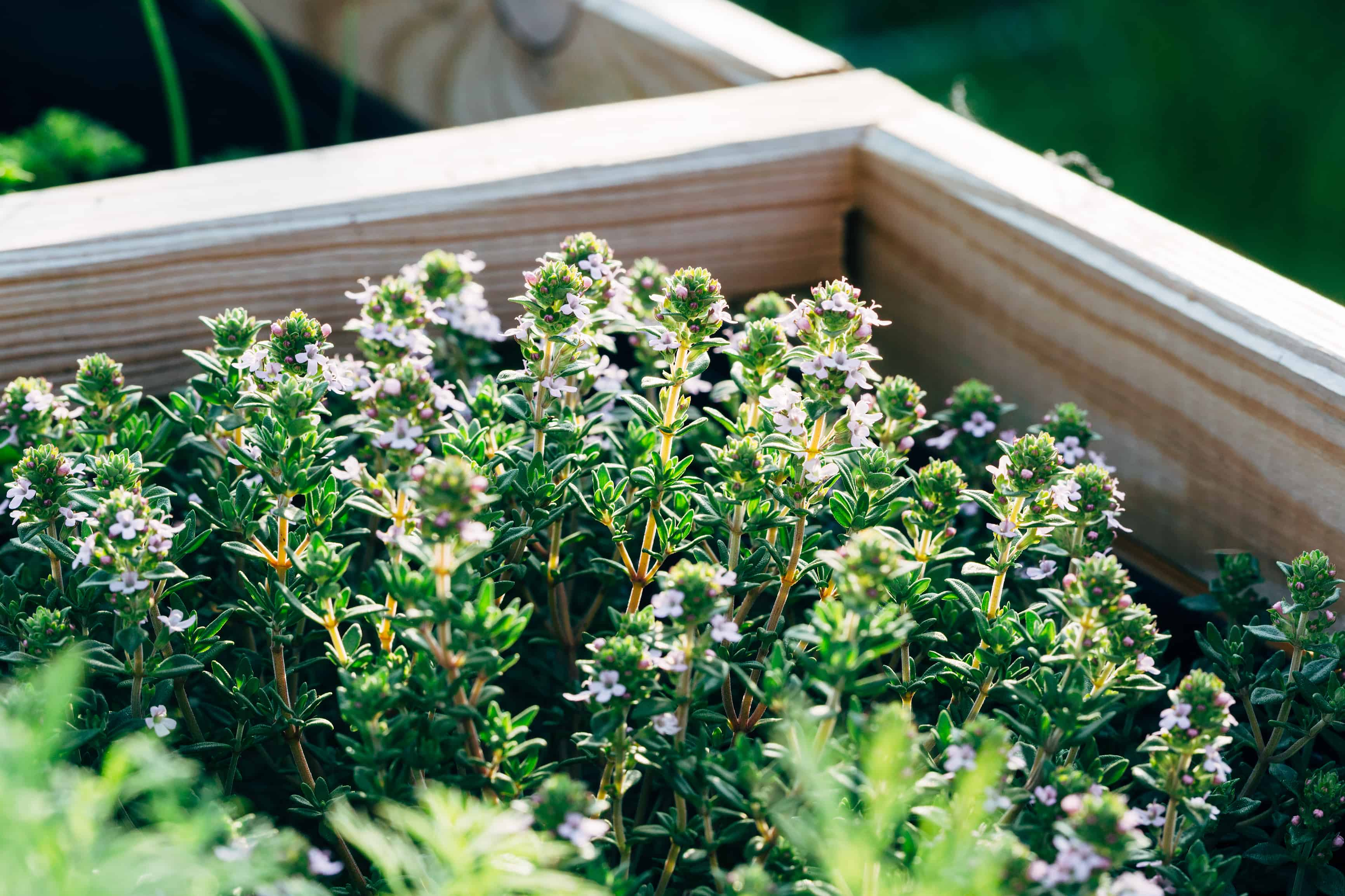How to grow thyme: thyme in bloom