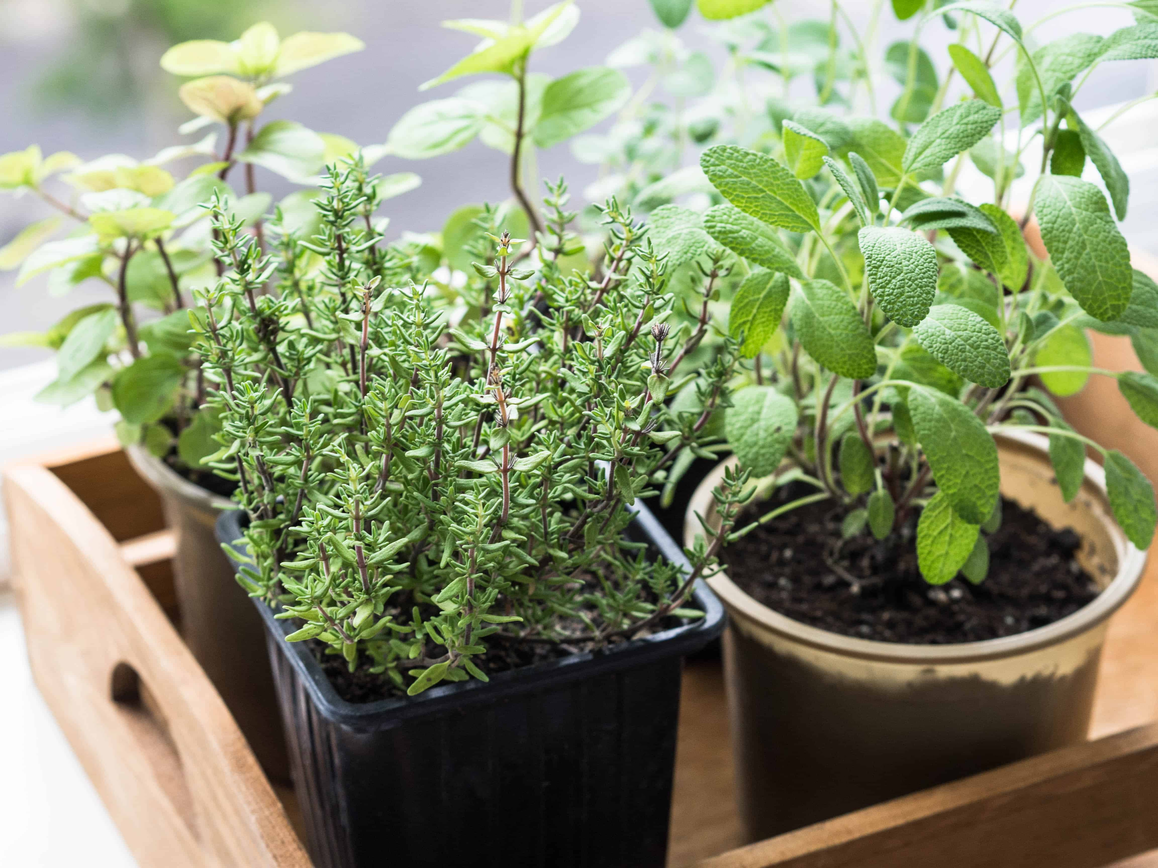 How to grow thyme; thyme in small pot