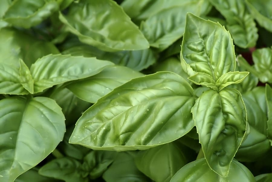 How to grow basil: basil growing in the garden
