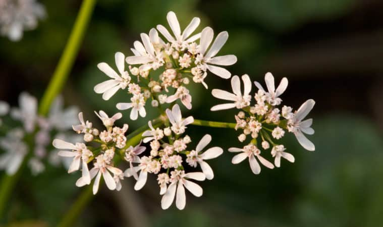 How to Grow Anise: flower in summer