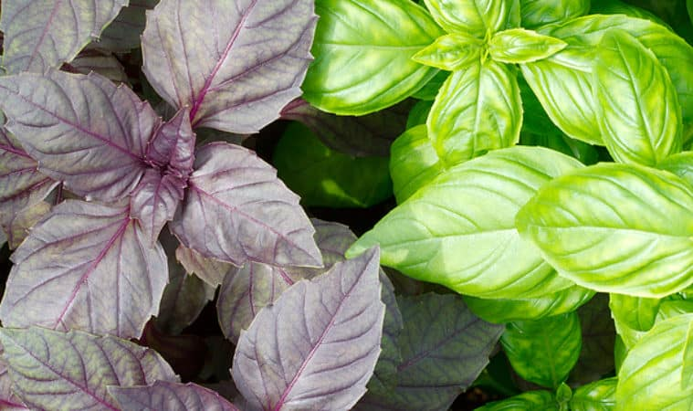 How to Grow Basil: green and purple basil