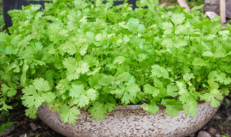 How to Grow Coriander and Cilantro