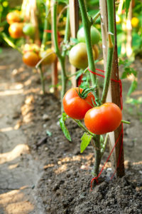 Prune tomatoes to grow larger more flavorful tomatoes.