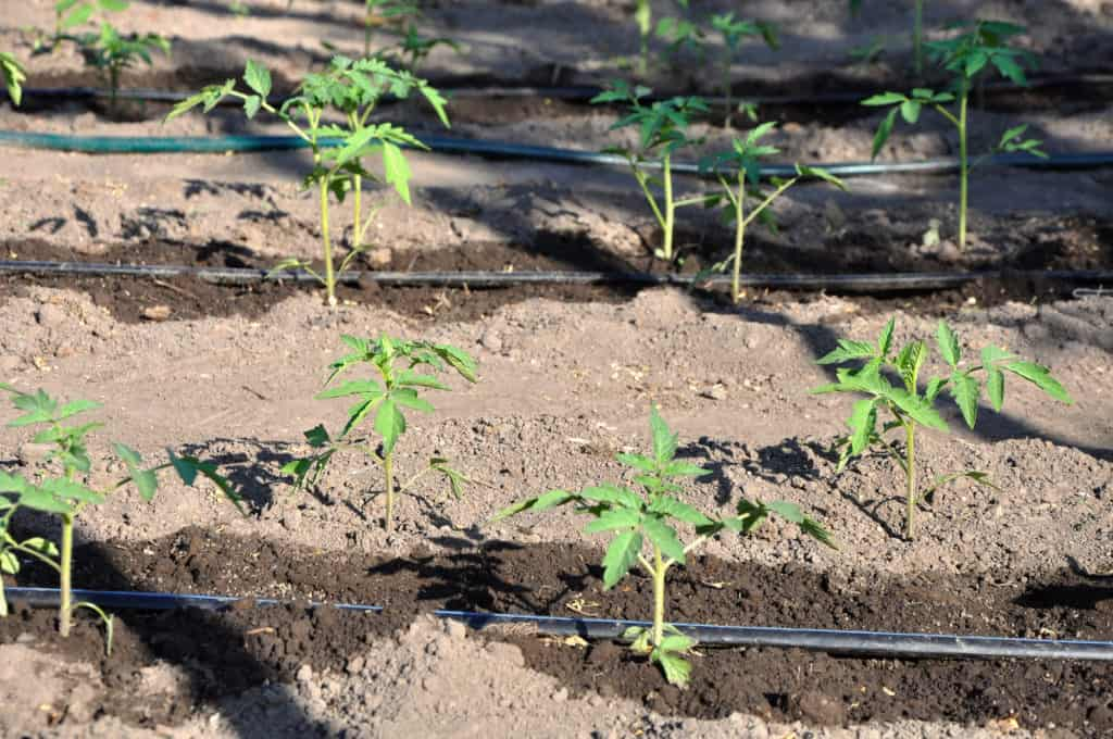 drip irrigation tomatoes