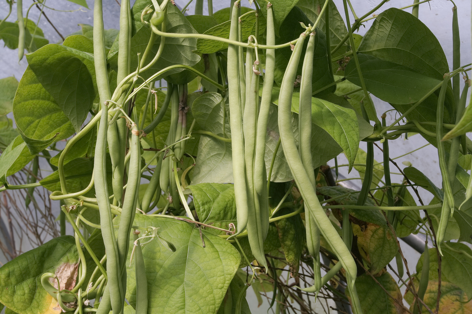 Bean Varieties That Are Easy To Grow
