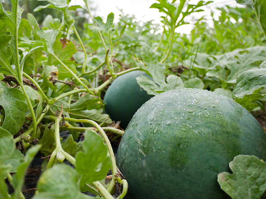 Melon Growing Problems And Solutions
