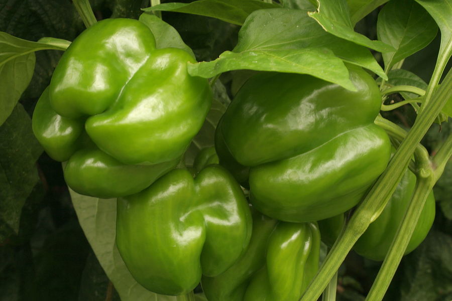 35//700 Seeds Chili Red Jalapeno Mild Vegetables Vegetable Garden Plants