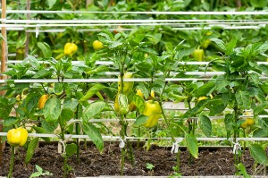Peppers growing problems can be avoided.