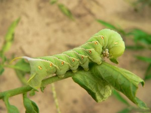 Tomato growing problems include the tomato horn worm.
