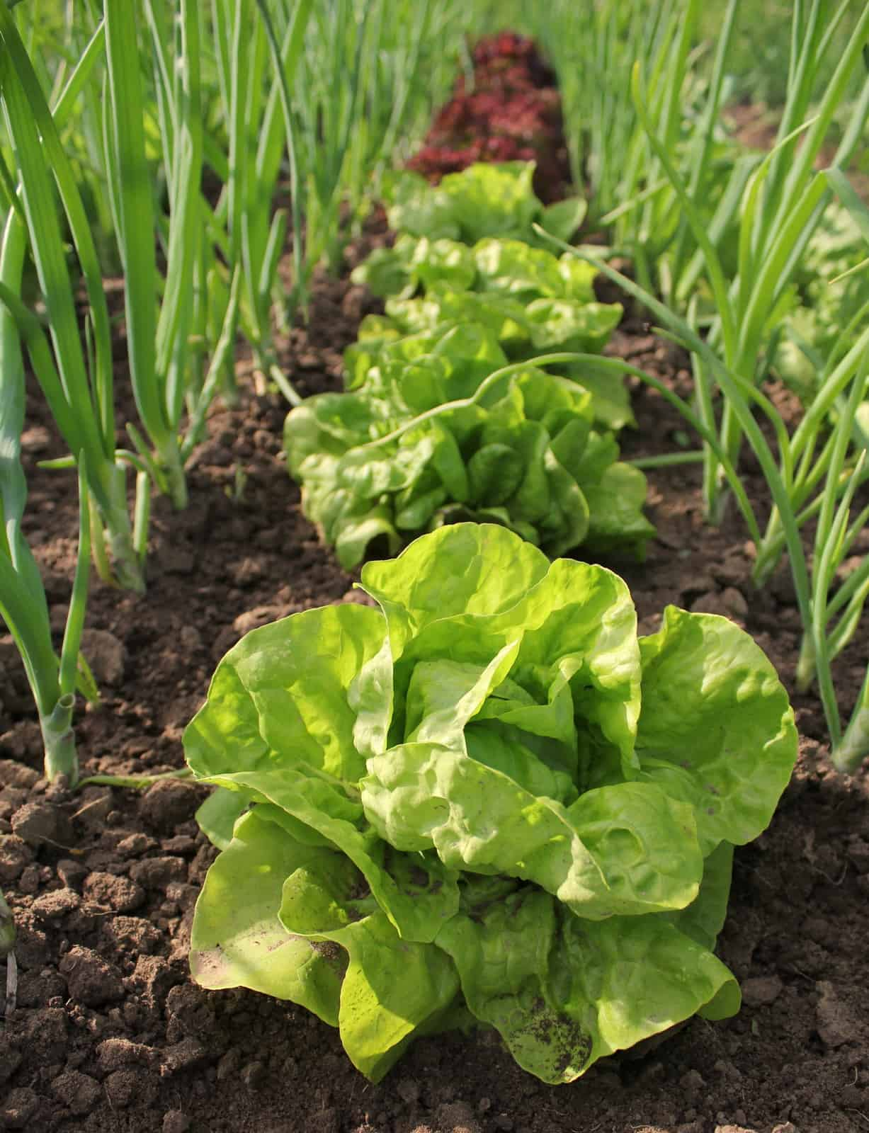 Intercropping lettuce and onions