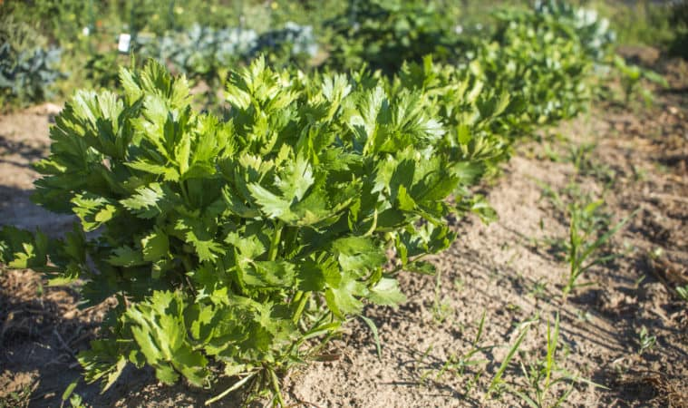 celery growing problems