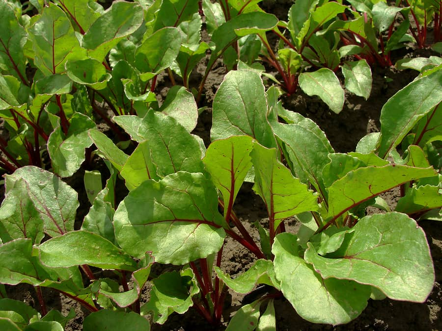 Beet growing problems
