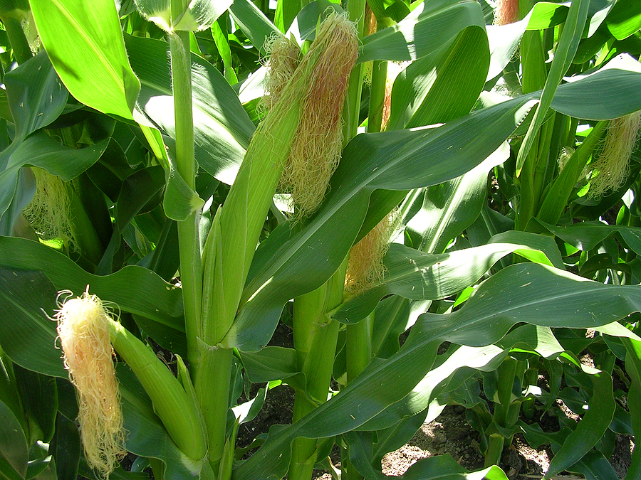 Corn Growing Problems And Solutions