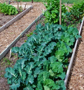 Broccoli growing problems: Broccoli and Cabbage