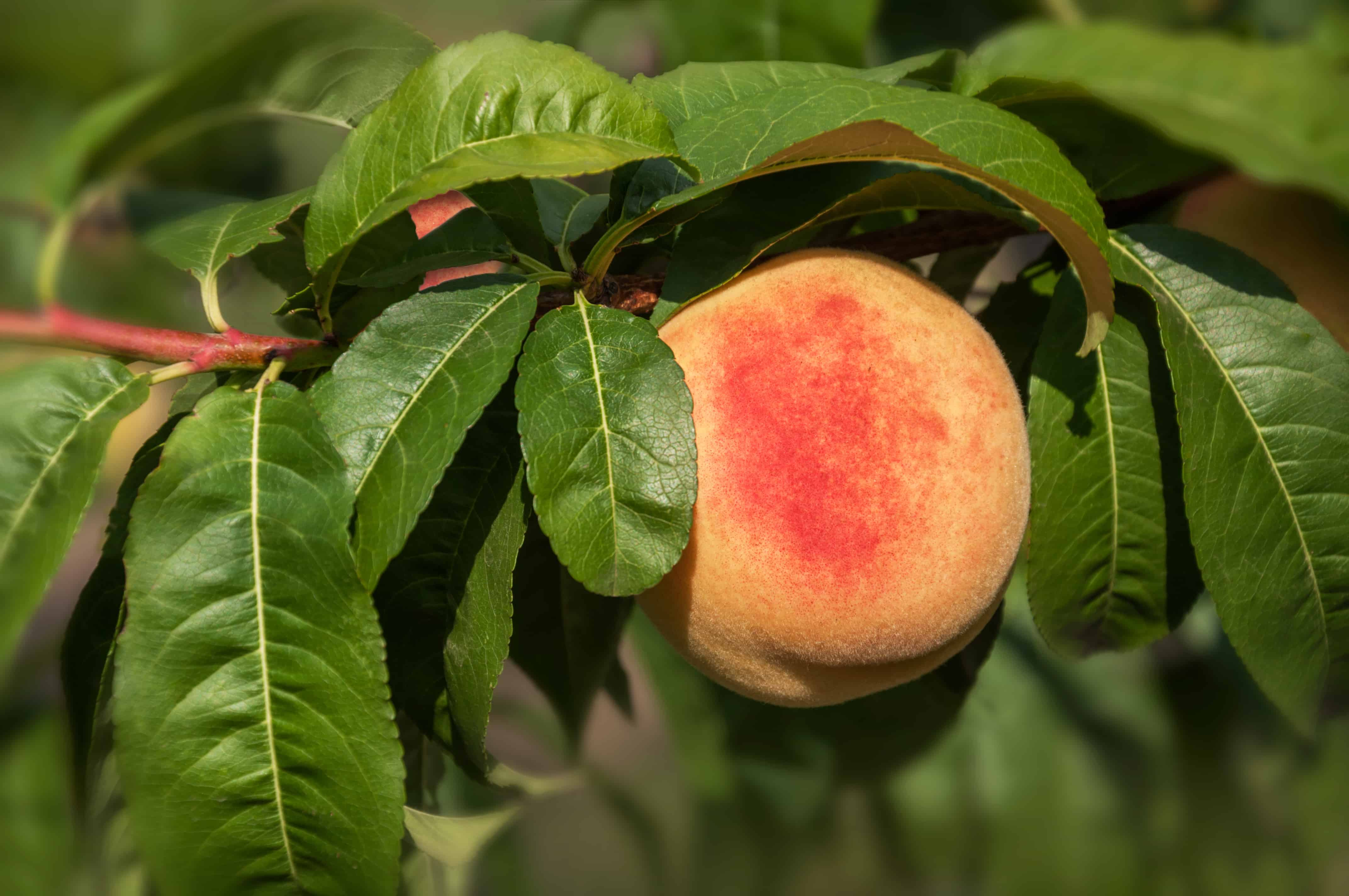 How To Plant Grow Prune And Harvest Peaches And Nectarines Harvest To Table