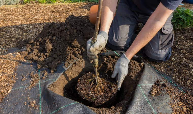 planting bare root tree