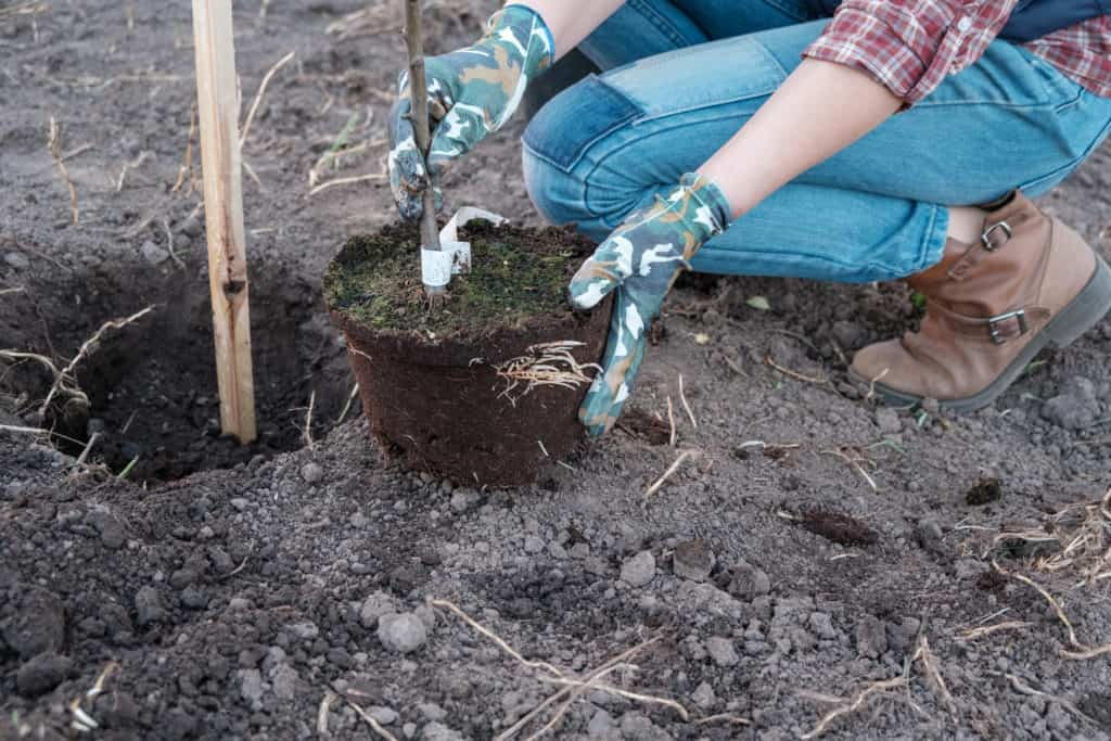 Planting Bare Root Fruit Trees And Vines Harvest To Table