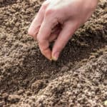 Sowing seed in the garden