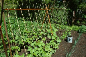Beans Growing Up Poles