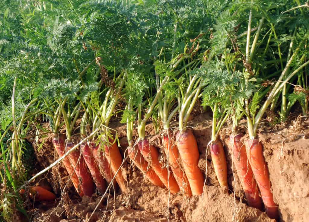 Carrots ready for harvest