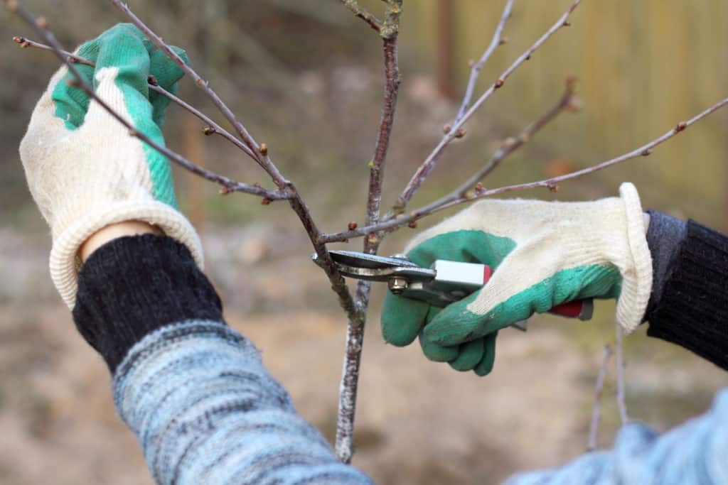 Prune trees and vines