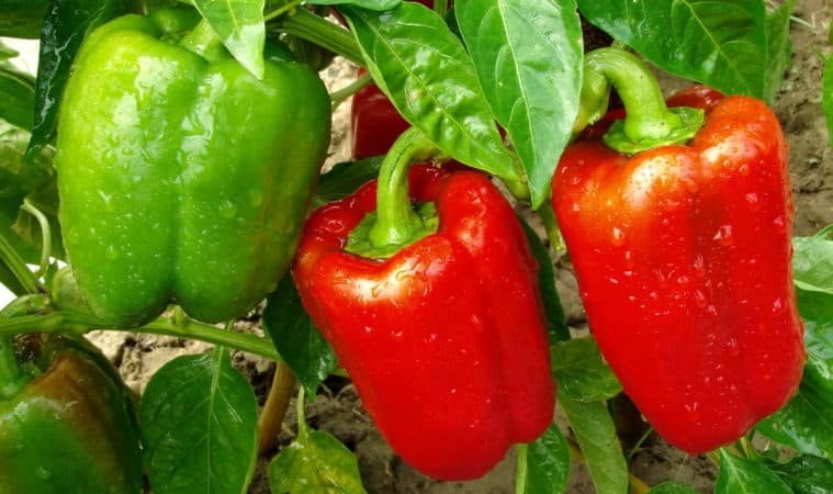 peppers at harvest