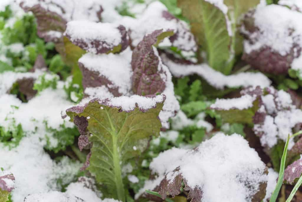 Red mustard growing under snow