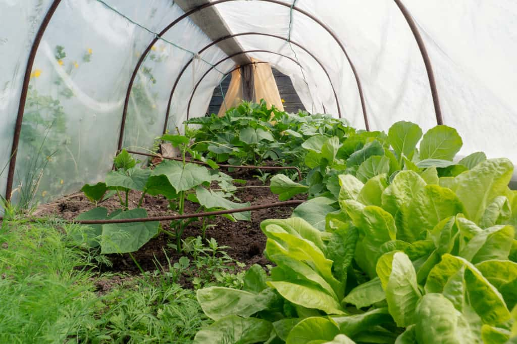 Grow greens under a plastic tunnel