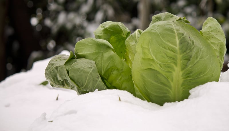 Spring cabbage in winter
